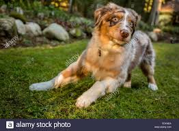 8 month old australian shepherd red merle stock photos u0026 red merle stock images alamy