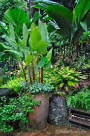 Unusual Tropical Plants - buy some ginger root at the grocery store and then plant in a pot