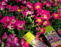 drift roses pink drift the planting tree