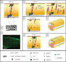What Organelles Are Found In Epithelial Cells Epithelial Junctions Cytoskeleton And Polarity