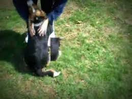 australian shepherd beagle mix jay jay adopted australian shepherd beagle mix youtube