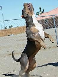 american pit bull terrier registry xxl blue pitbulls biggest pitbull puppies kennel dog quotes