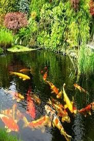 koi live wallpaper version apk free descarga gratuita fondos de pantalla animados estanque con peces