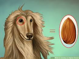 afghan hound look alike breeds how to identify an afghan hound 12 steps with pictures