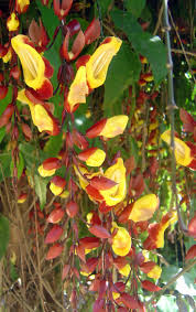 spectacular gingers u0026 other amazing exotic plants rare plants 253 best exotic plants images on pinterest exotic plants plants