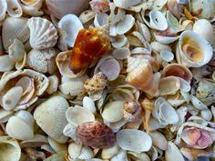 Assorted Seashells A Strawberry Conch Is One Of The Seashells Featured On My Shells