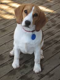 Black And Tan Beagles How To Beagle Puppies For Adoption Dog Breeds Puppies Easy Ways
