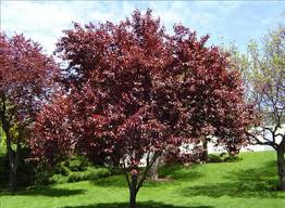 ornamental trees and shrubs with reddish purple foliage