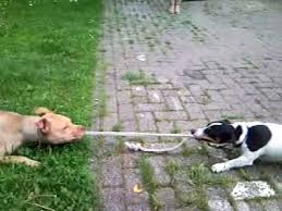jack russell american pitbull terrier mix pitbull vs jack russel lol youtube
