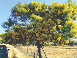 some outstanding leguminous bee trees bee culture