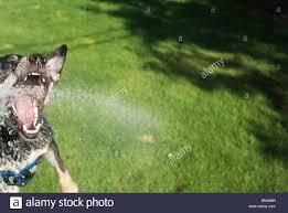 dog attacking water hose in backyard fun vicious an wide eyed