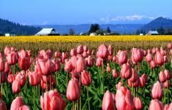 tulip festival map skagit valley tulip festival la