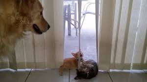 big dog watching little cute kittens playing with the window
