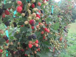 hemp crops may be grown by navajo nation native americans nurseries for blackberries and raspberries nc state extension