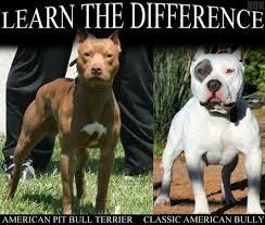 american pit bull terrier breed standard top 25 best american pitbull terrier breeders ideas on pinterest