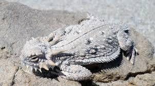 Seeking Lizard Review Cdfw Seeks Information Related To Flat Tailed Horned Lizard Cdfw