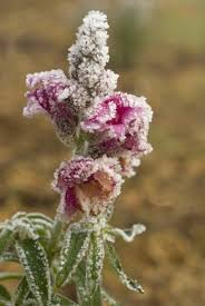 snapdragon flowers can snapdragons survive winter preparing snapdragon plants for winter