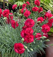 dianthus flower dianthus ruby s tuesday buy online at s annuals