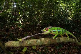 inside the secretive world of florida u0027s chameleon catchers