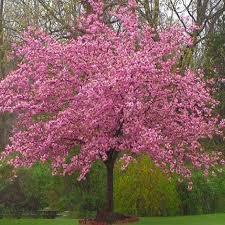 kwanzan cherry tree japanese kwanzan flowering cherry blossom trees
