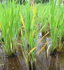 Symptoms Of Viral Diseases In Plants - tungro irri rice knowledge bank