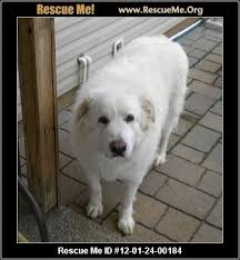 great pyrenees rescue provides wonderful dogs to good homes great pyrenees blog rescueme org