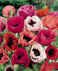 poppy seeds papaver orientalis perennial flower seeds