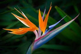 birds of paradise flower bird of paradise new floridians