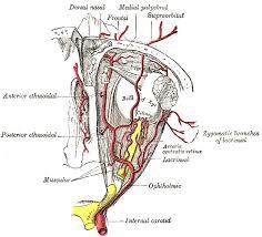 Anatomy Of The Eye Vascular Anatomy Of The Eye