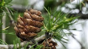 free photo iglak sprig larch tree pine cone max pixel