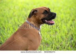 boxer dog female beautiful brown female boxer dog stock photo 569286313 shutterstock
