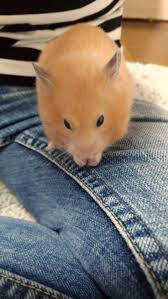 1036 best hamsters and my hamster images on pinterest hamsters
