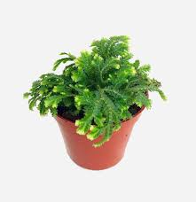 inside house plants accessories easy houseplant inspiration selaginella kraussiana