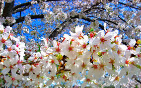 cherry blossom wallpaper desktop download awesome collection of