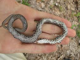 How To Find Snakes In Your Backyard Life Is Short But Snakes Are Long Snake Eating Snakes
