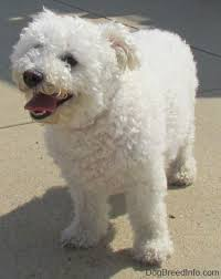 bichon frise 1 month bichon frise dog breed information and pictures