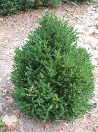 online plant guide buxus u0027green mountain u0027 green mountain boxwood