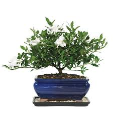 brussel u0027s bonsai gardenia bonsai dt 0107g the home depot