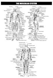 30 best study muscles images on pinterest health anatomy study