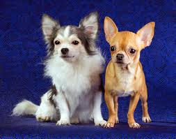 affenpinscher and chihuahua 60 amazing facts about chihuahuas that you didn u0027t know