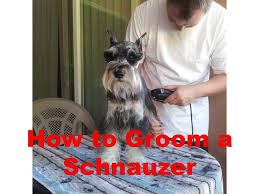 schnauzer hair cut step by step how to groom a miniature schnauzer youtube