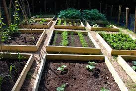 progress in the raised bed vegetable garden the modern gardener