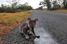 koala cull queensland marks 90 open season declared