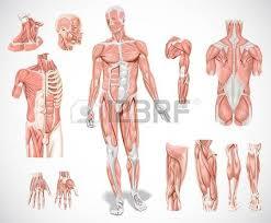 Human Anatomy Muscle Human Anatomy Images U0026 Stock Pictures Royalty Free Human Anatomy