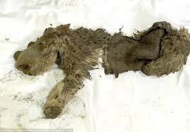 baby woolly rhino unearthed siberian ice