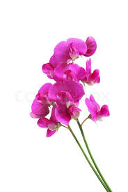 sweet pea flowers sweetpea flowers isolated on white stock photo colourbox
