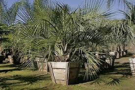 mexican fan palm growth rate the aura of the mexican blue palm orange county register