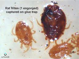 Bed Bugs On Cats Human Skin Parasites Mites