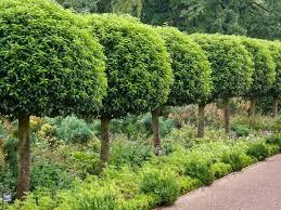 Laurel Topiary - prunus lusitanica portugal laurel cherry bay portuguese laurel