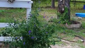 usda native plants usda florida zone 9b tropical butterfly plant youtube